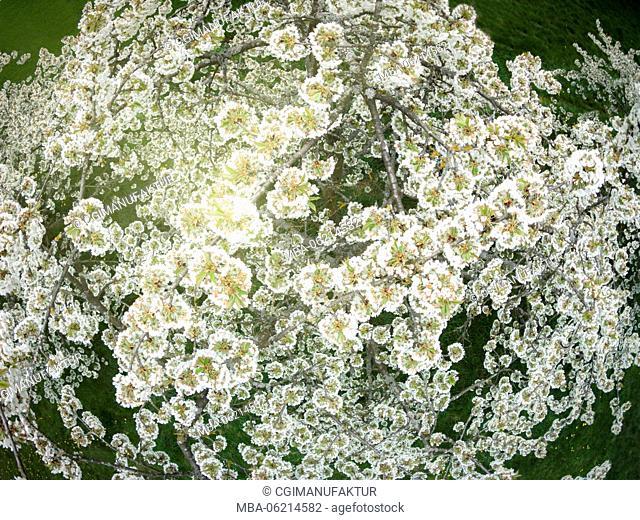 Germany, Bavaria, Franconia, Cherry blossom, drones Photography