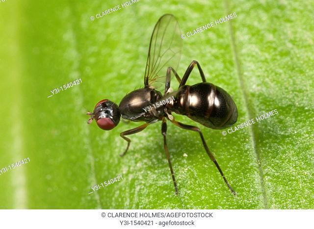 Black Scavenger Fly Sepsidae, Ward Pound Ridge Reservation, Cross River, Westchester County, New York, USA