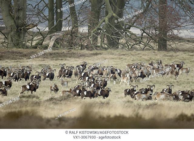 Flock of European Mouflons ( Ovis orientalis musimon ), in open natural landscape, typical habitat, wildlife, Europe