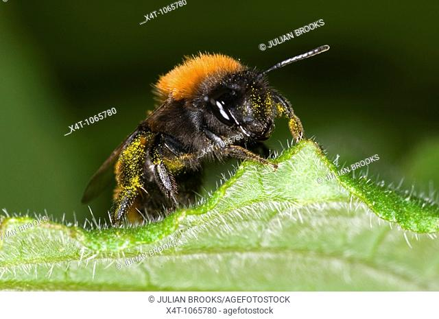 Andrena fulva – the tawny mining bee, female on leaf with pollen collected