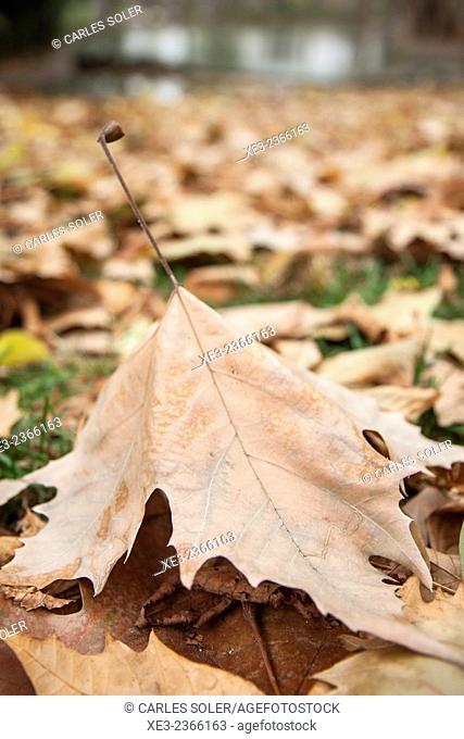 Autumn leaves. Parque del Retiro, Madrid, Spain