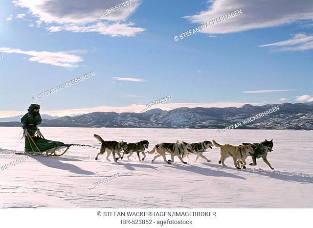 Dog team / dog sled with musher, frozen Lake Laberge, Yukon Territory, Canada