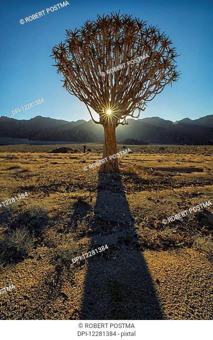 Sunburst through a Kookerboom tree in Richtersveld National Park; South Africa