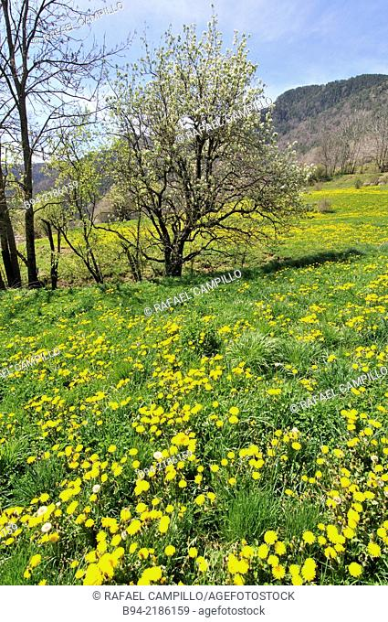 Field in spring with yellow flowers of Taraxacum officinale, common dandelion, flowering herbaceous perennial plant of the family Asteraceae Compositae