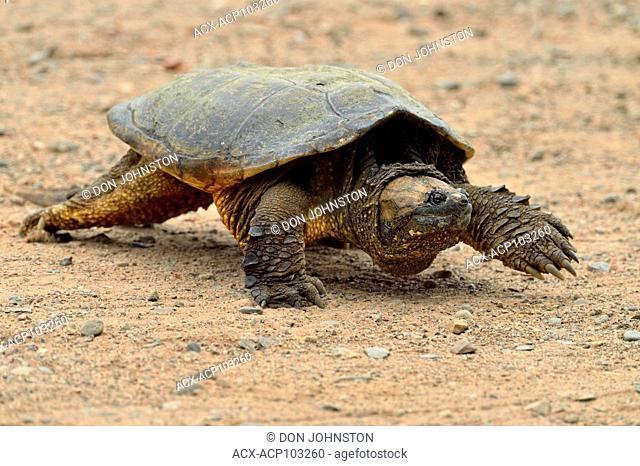 Common snapping turtle (Chelydra serpentina) Captive, Minnesota wildlife Connection, Sandstone, Minnesota, USA