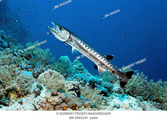 Blackfin Barracuda (Sphyraena qenie) in cleaning station with Bluestreak Cleaner Wrasse (Labroides dimidiatus), Red Sea, Egypt
