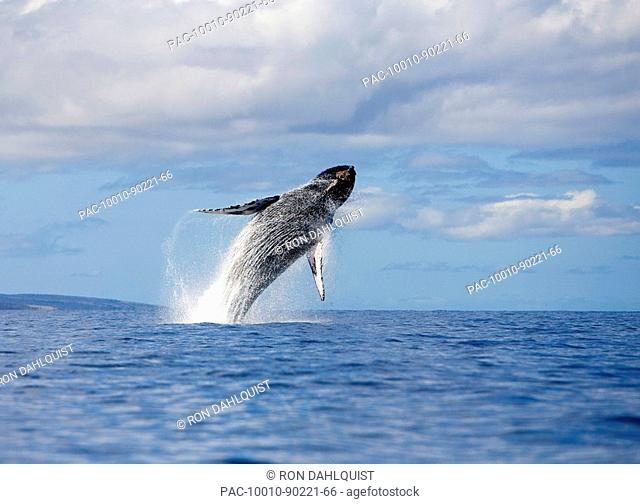 Hawaii, Maui, Humpback whale breaching
