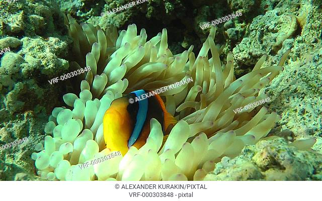 Twoband anemonefish (Amphiprion bicinctus) completely disappears among the tentacles of actinia, medium shot