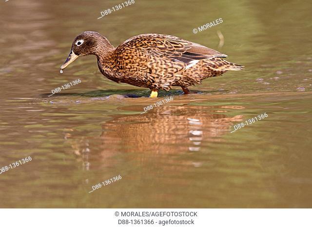 Hawaï , Midway , Sand Island , Laysan Duck  Anas laysanensis