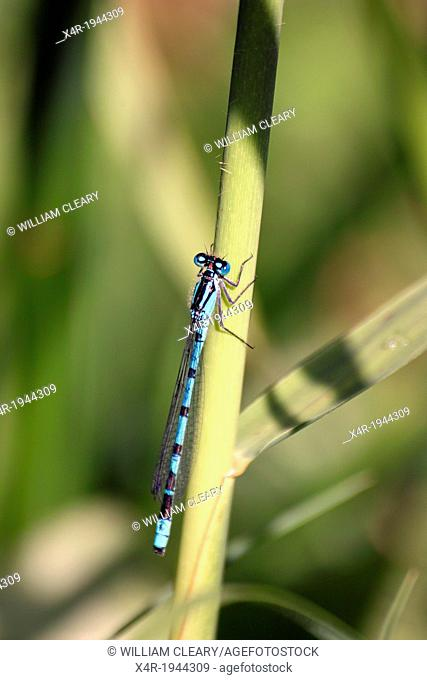 Blue damselfly, along the banks of the Royal Canal, County Westmeath, Ireland