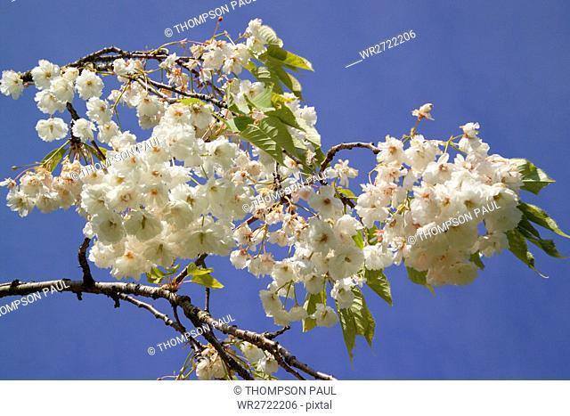 90900203, Blossom, white, tree, trees, blue, sky