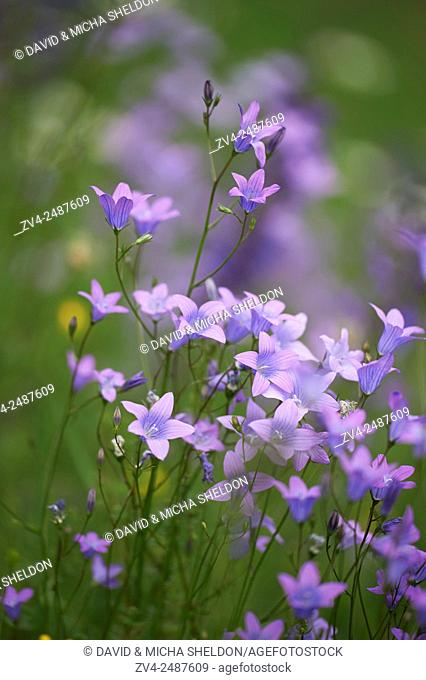 Close-up of a flower meadow with spreading bellflower (Campanula patula) blossoms in early summer