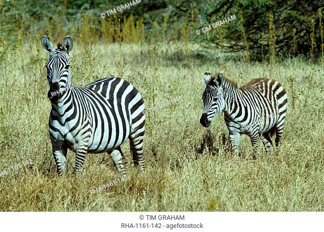 Common Plains Zebra (Grant's) & foal, Ngorongoro Crater, Tanzania