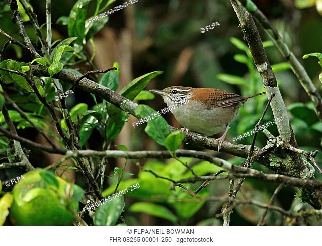 Rufous-and-white Wren (Thryophilus rufalbus skutchi) adult, perched in orange tree, El Valle, Panama, October