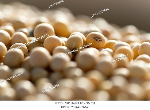 Close-up of soybeans (Glycine max); Minnesota, United States of America