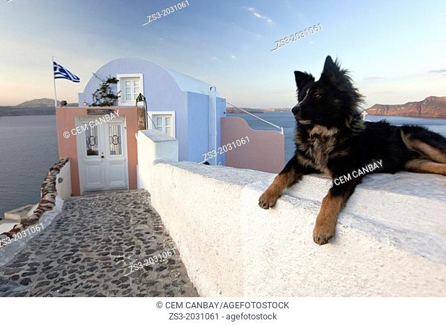 Dog in front of a hotel in Oia town, Santorini, Cyclades Islands, Greek Islands, Greece, Europe.	1015