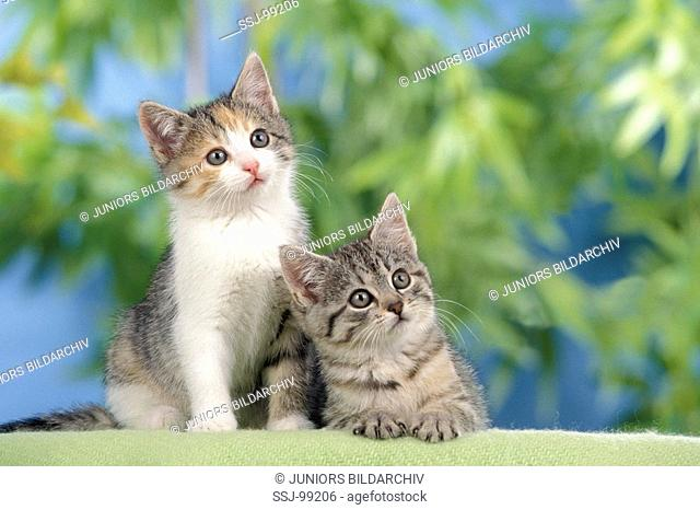 two domestic kitten restriction: Kalendertitel 2009 , calendar titel/cover 2009