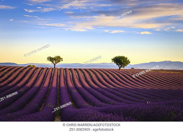Lavender fields in the early morning Valensole Plateau Forcalquier Alpes-de-Haute-Provence Provence-Alpes-Cote d'Azur France