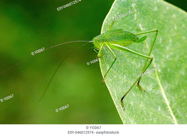 Image of family Tettigoniidae(Mirollia hexapinna) are commonly called katydids or bush-crickets on green leaves. Insect. Animal