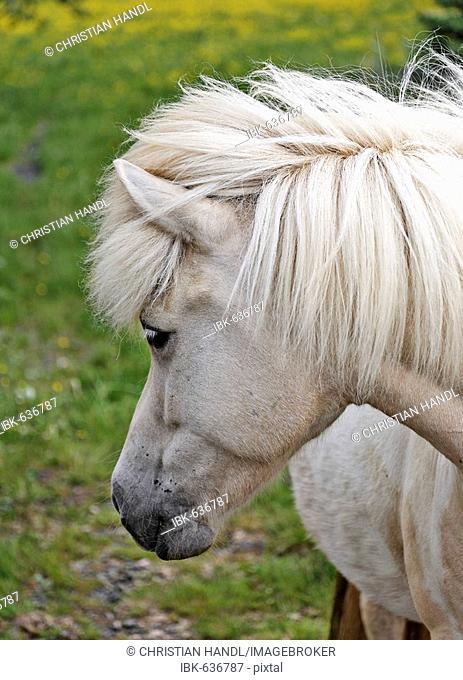 Icelandic horse, Iceland, Atlantic Ocean
