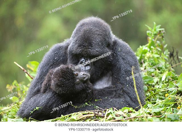 Mountain Gorillas, Gorilla beringei beringei, female with young sitting on nest in rain, Volcanoes National Park, Rwanda
