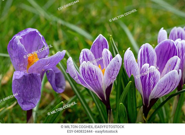 Blooming Striped Pickwick Crocus flowers