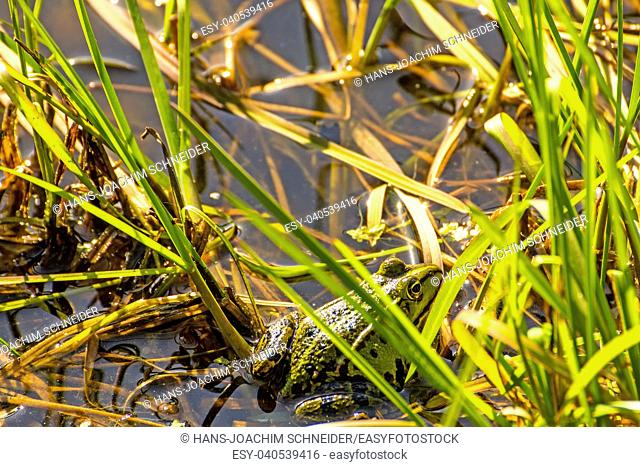 water frogs in a moor reserve in Poland