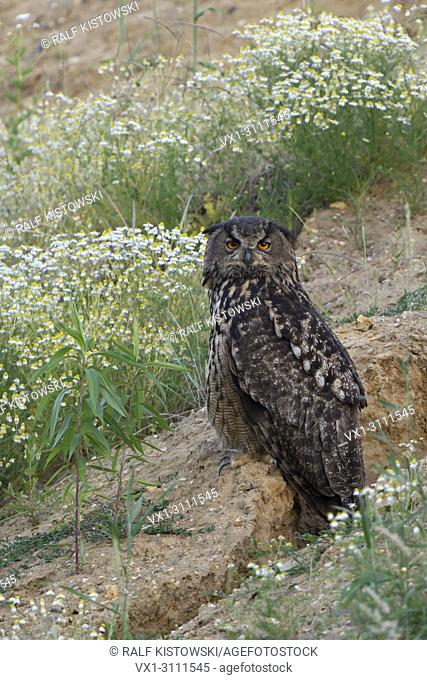 Eurasian Eagle Owl / Europaeischer Uhu ( Bubo bubo ), adult, sits between blossoming flowers in a slope of a sand pit, watching, wildlife, Europe