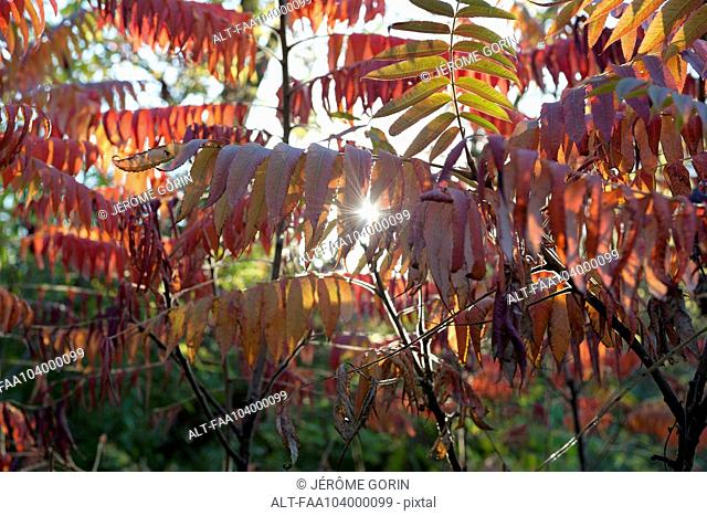 Sunlight shining through autumn foliage