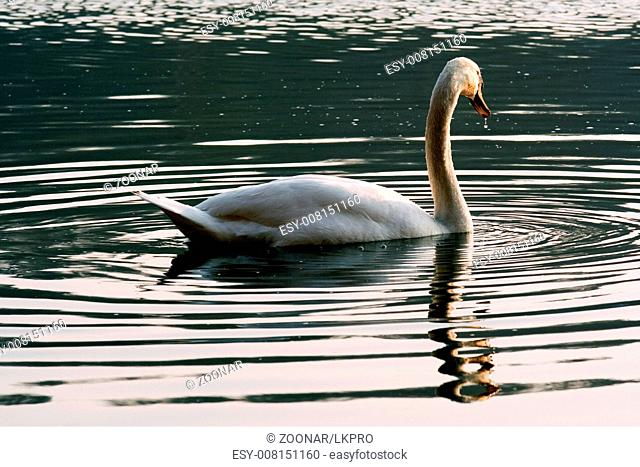 italy green side of little white swan