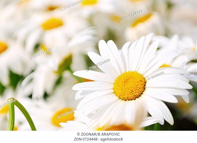 daisy flower backgorund closeup