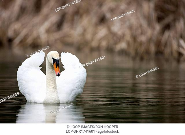 A mute swan on the water