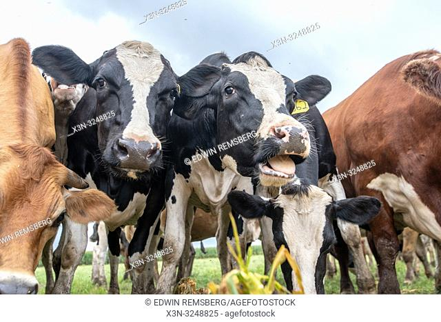 Low angle view of dairy cattle bunched together and grazing, Pokomoke, Maryland