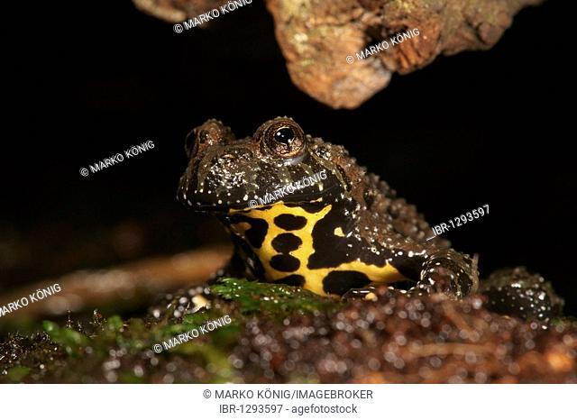 Oriental Fire-bellied Toad (Bombina orientalis) in captivity