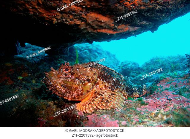 Large-scaled scorpionfish hidding under a big rock during the day in Corsica. Scorpaena scrofa