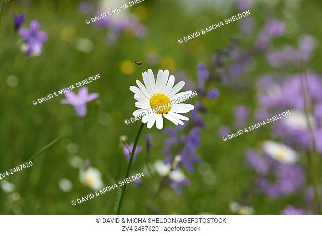Close-up of a flower meadow with ox-eye daisy (Leucanthemum vulgare), meadow clary (Salvia pratensis) and spreading bellflower (Campanula patula) blossoms in...