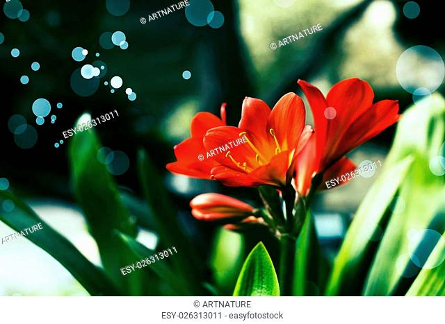 Flower Bouquet of Lily Clivia close up card isolated on black background
