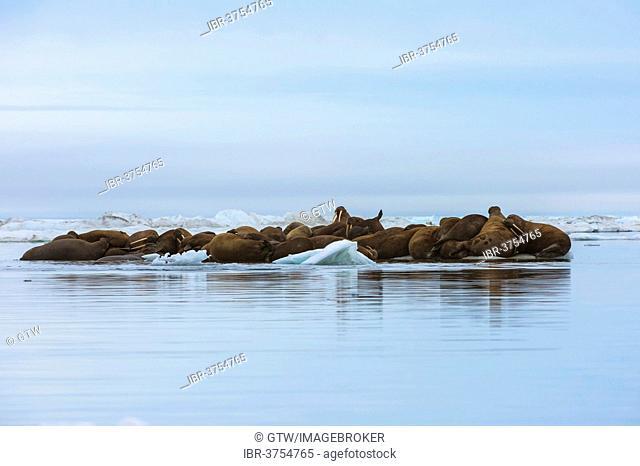 Group of Walruses (Odobenus rosmarus) resting on an ice floe, Wrangel Island, Far Eastern Federal District, Russia