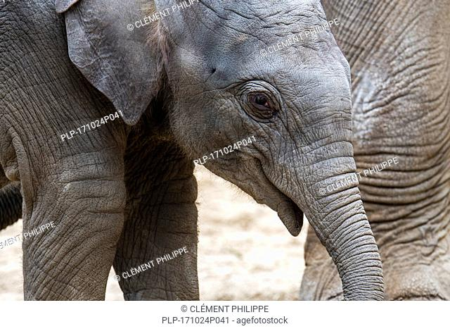 Close up of cute three week old calf in herd of Asian elephants / Asiatic elephant (Elephas maximus)