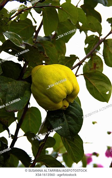 Quince. Cydonia oblonga. Photo take in Pinos, Lleida, Catalonia, Spain, Europe