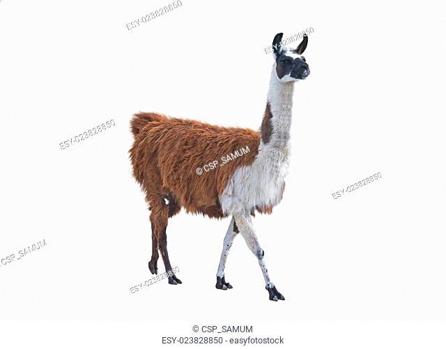the Beautiful lama