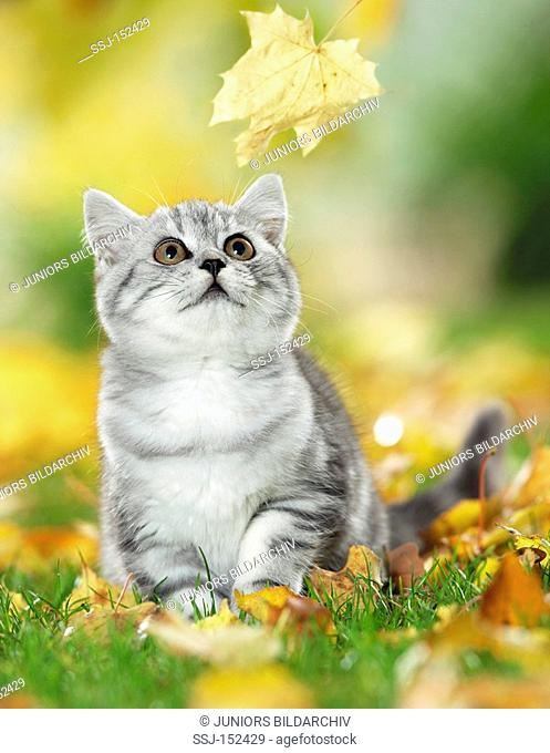 young British Shorthair cat watching leaf