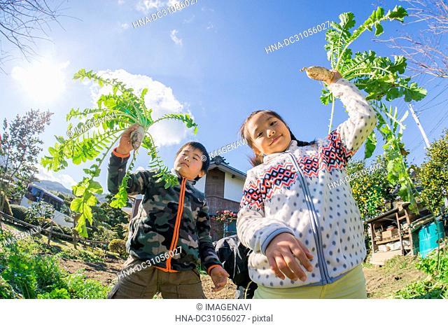 Harvesting Japanese radish