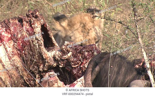 A young adolescent Lion (Panthera leo) eating, biting, chewing at a Wildebeest, Gnu carcass, fresh kill, in the African bushveld, dry winter grass
