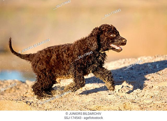Irish Water Spaniel. Puppy running on sand