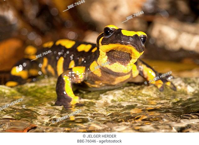 photo of a fire salamander on the edge of a stream