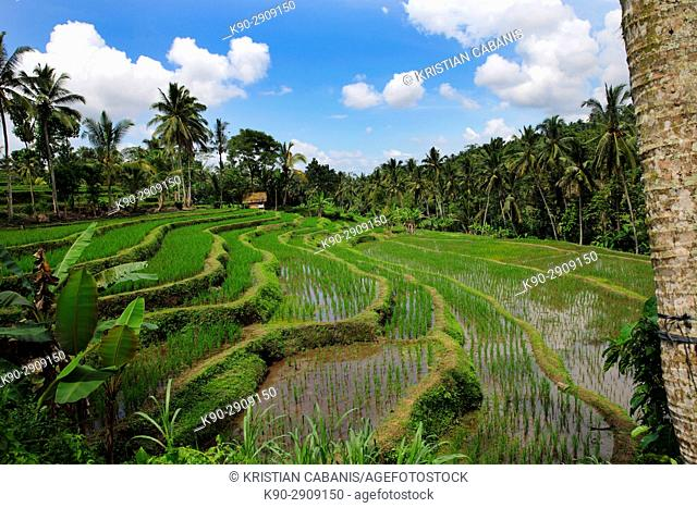 Rice paddies cultivated as rice terraces with coconut palmtrees in the background, Bali, Indonesia, Southeast Asia