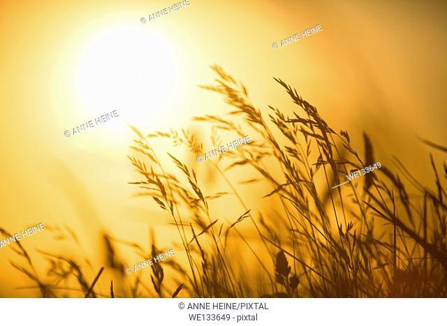 atmospheric romantic viwe of grass backlit by setting orange sun