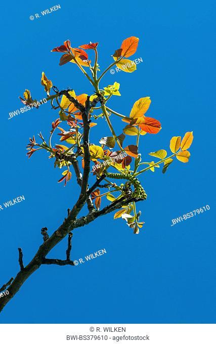 walnut (Juglans regia), branch with leaf shoots and male catkins, Germany, North Rhine-Westphalia