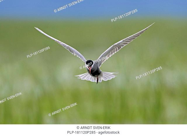 Whiskered tern (Chlidonias hybrida / Chlidonias hybridus) in flight calling over wetland, migratory bird breeding on inland lakes, marshes in Europe